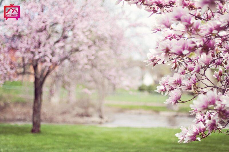 شکوفه های ونکوور
